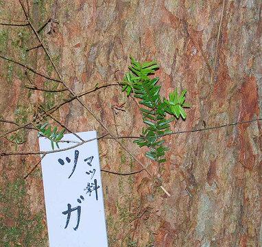 ツガの幹と葉