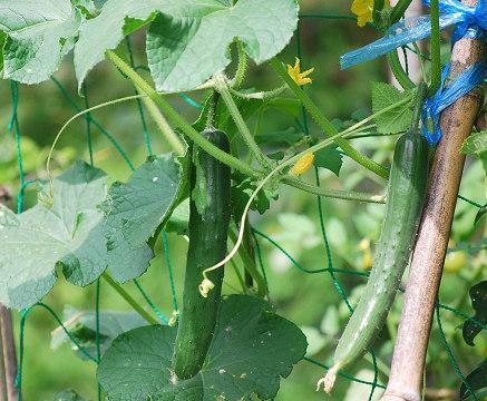 キュウリの収穫