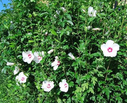 咲いたムクゲ