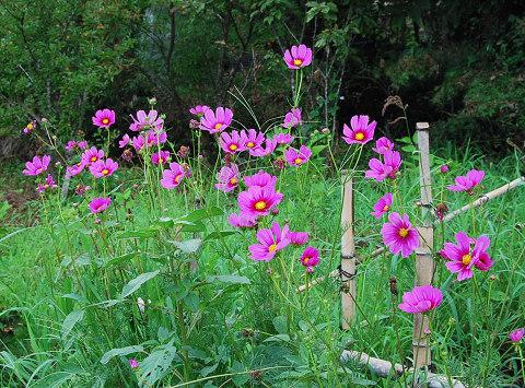 道路沿いのコスモスの花