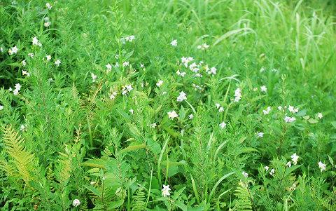 土手の草の花
