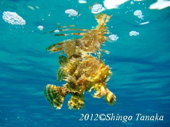 タオ島、ダイビング、ハナオコゼ