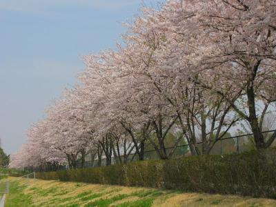 七里公園の桜並木