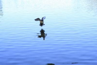 渡り鳥の着水