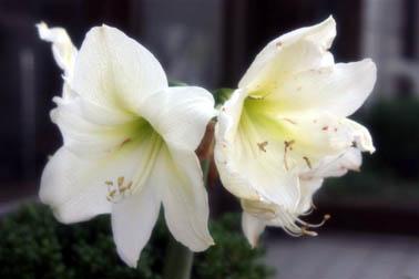 アママリス開花