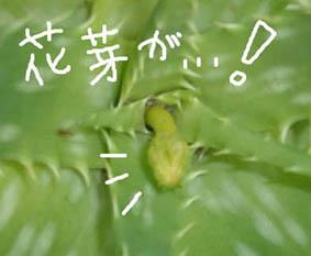 アロエ花芽