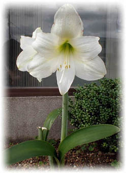 アマリリス開花2