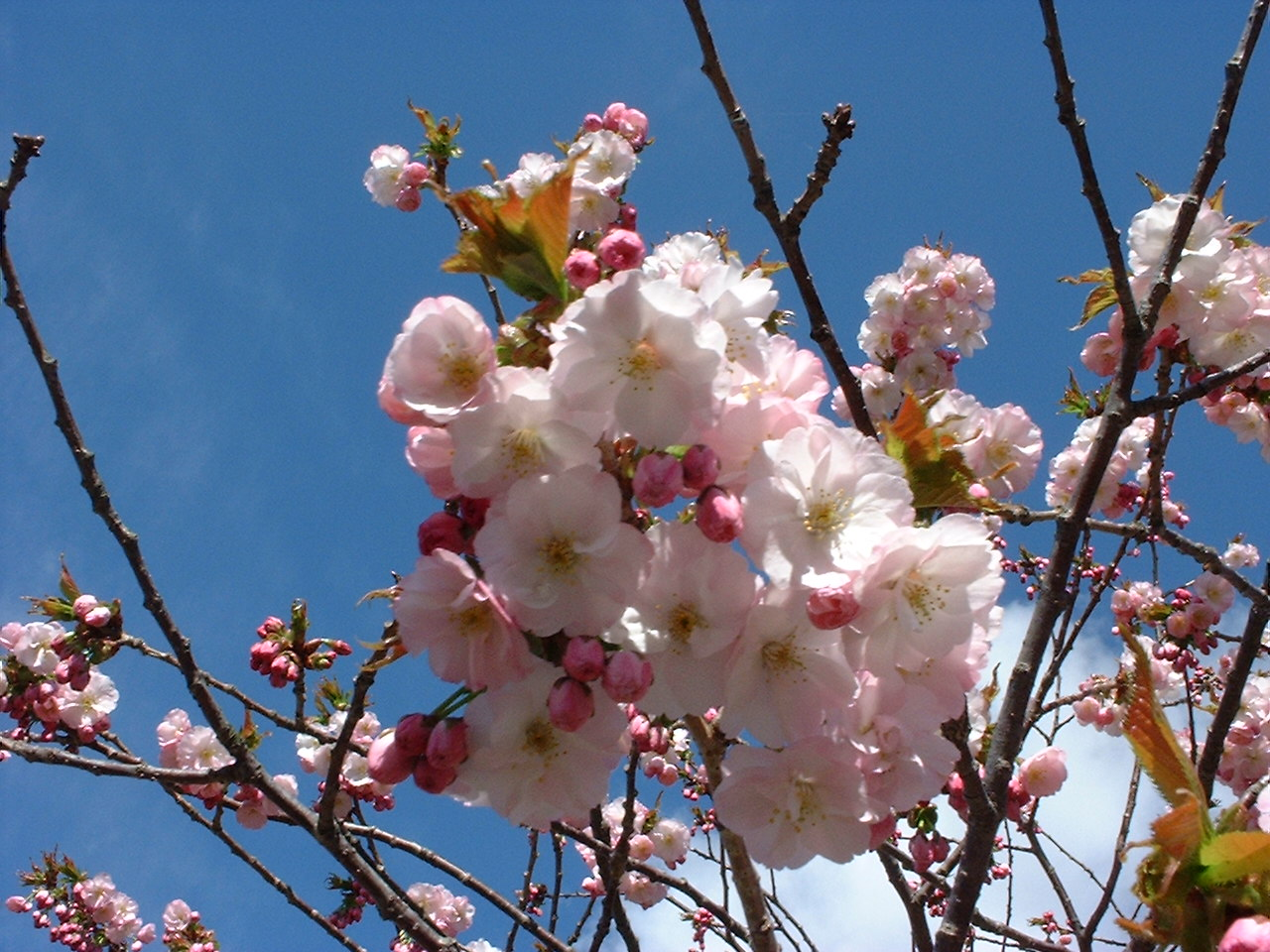松前城の桜UP03