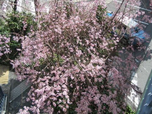 しだれ桜090325