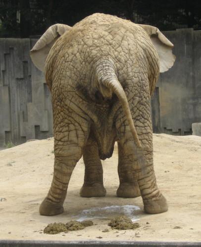 アフリカゾウ1