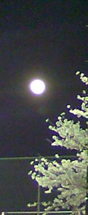 夜桜と月2