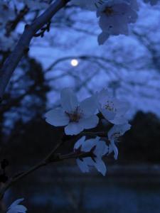 満月とソメイヨシノ