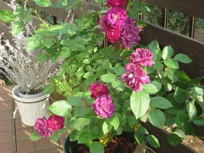 0521紫のバラ