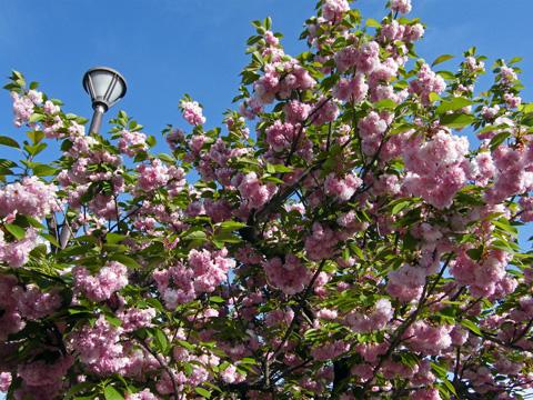 20090418_cherry_tree-01.jpg