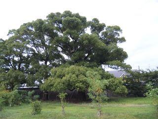 このー木なんの木