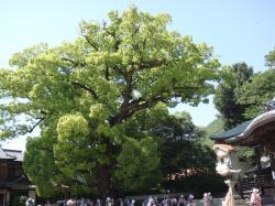 糸崎神社くすのき