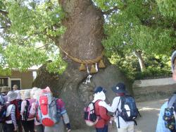 糸崎神社くすのき2