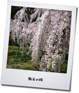 飯谷しだれ桜2