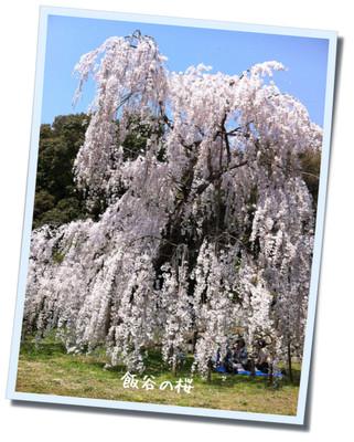 飯谷しだれ桜1