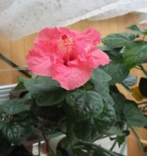 ピンクハイビスカスの花