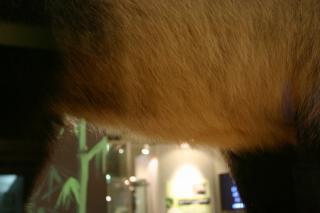 リンリンの腹毛