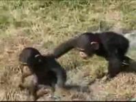 子供のチンパンジーの「我が闘争」