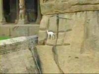 絶壁を歩行する赤ちゃんヤギ