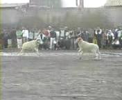 アルジェリアの羊vs羊の壮絶な闘い