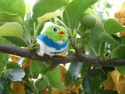 どっちが本物の梨でしょうか?