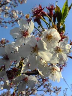 20050416_sakura.jpg
