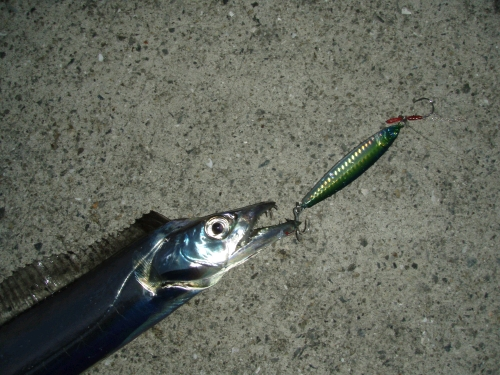 2008.11.3神戸太刀魚2