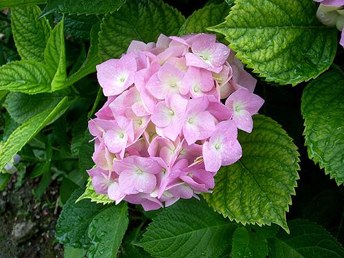 20080602紫陽花①