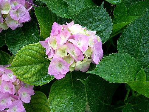 20080602紫陽花②