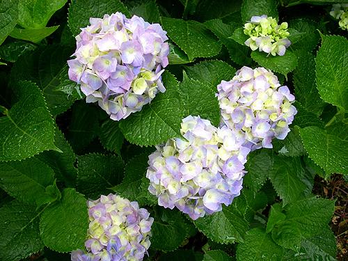 20080602紫陽花③