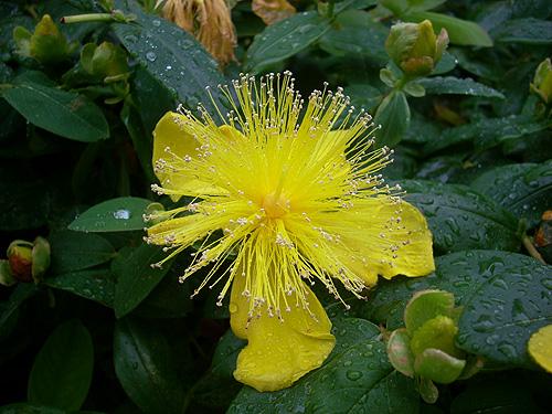 20080602雨の花①