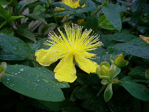 20080602雨の花②