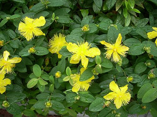 20080602雨の花③