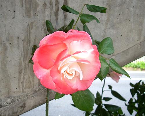 20080604お花①
