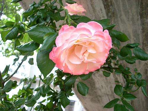 20080604お花②