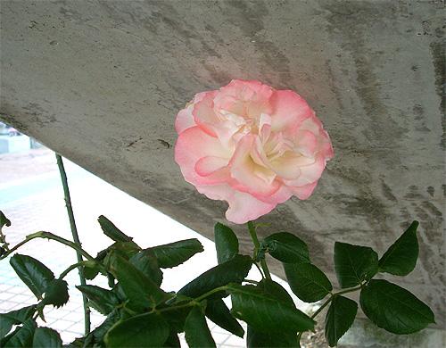 20080604お花③