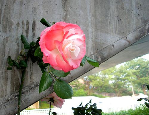 20080604お花④