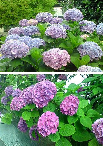 20080617紫陽花①