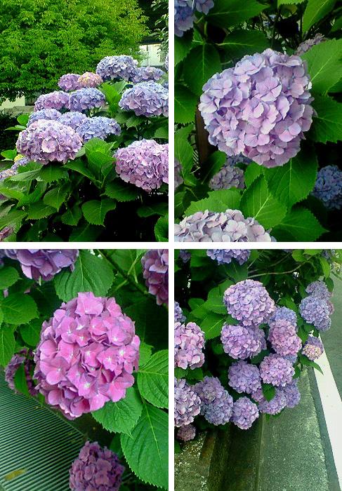 20080617紫陽花②