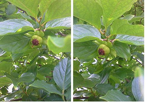 20080619甥っ子柿の木