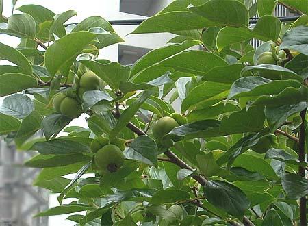 20080704柿の木③
