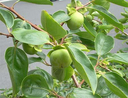 20080704柿の木⑥