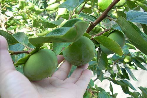 20080719柿の実