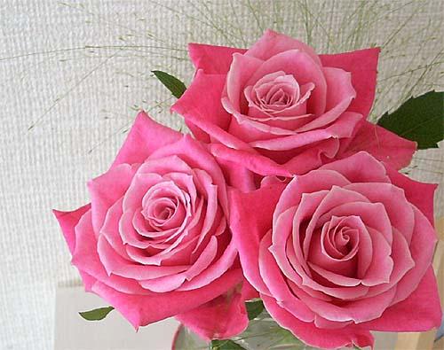 20080724薔薇②