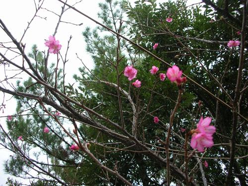 DSCN1904(桜 だるま山)