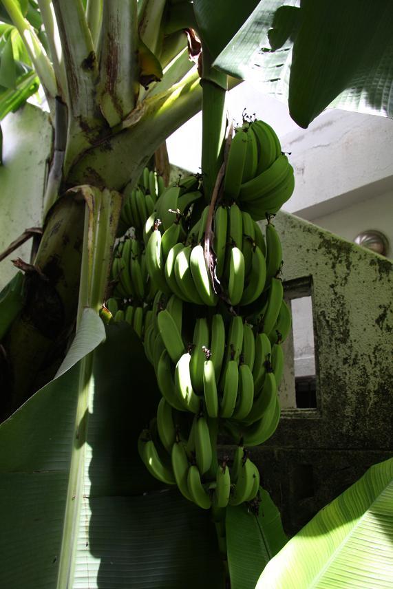 バナナ、1